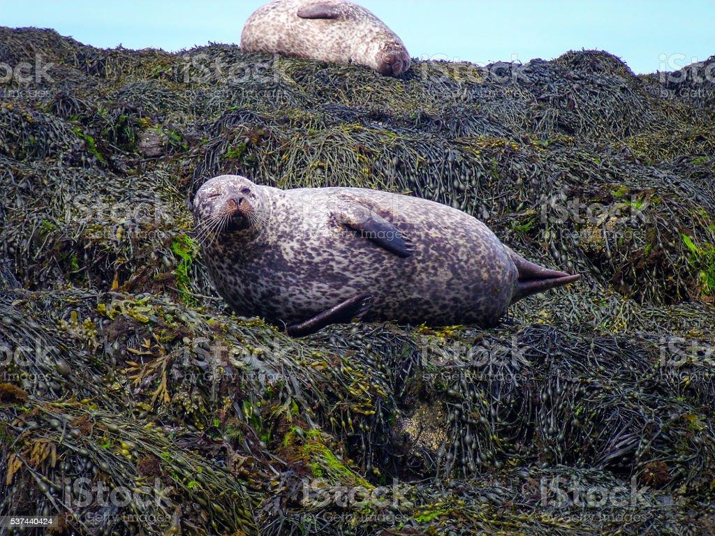 Two Fat Wild Harbour Seals on Kelp, One Winking, Scotland stock photo