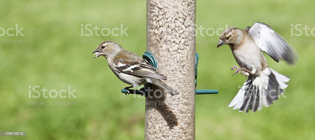 Two female Chaffinches on a sunflower seed feeder royalty-free stock photo