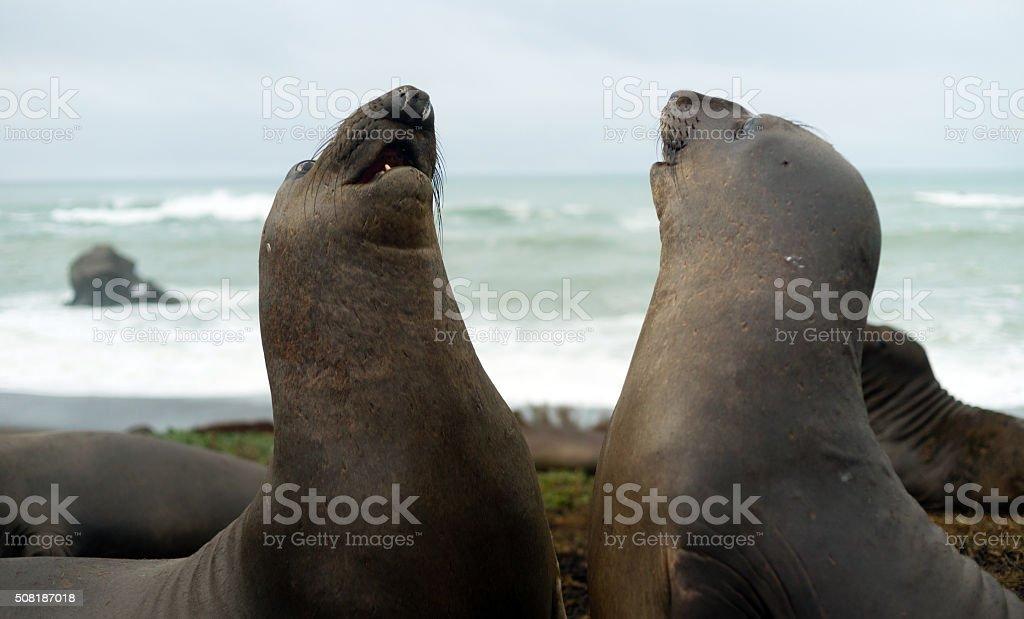 Two Female Elephant Seals Play Pacific Coast California USA stock photo