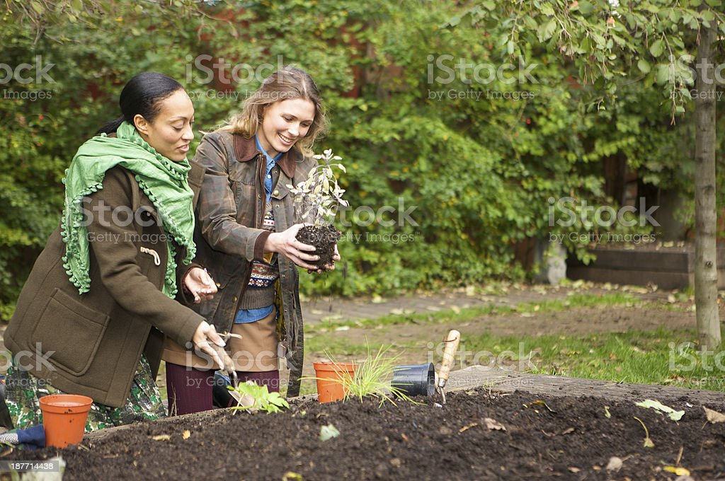 Two female gardeners planting in an urban vegetable garden royalty-free stock photo