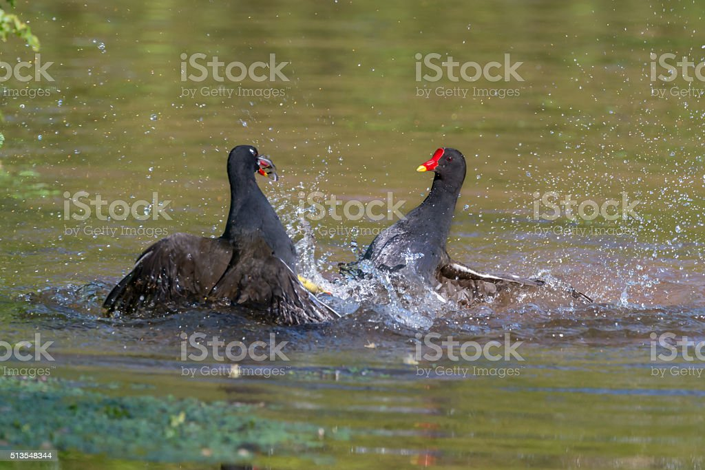 Two female Moorhens fighting stock photo