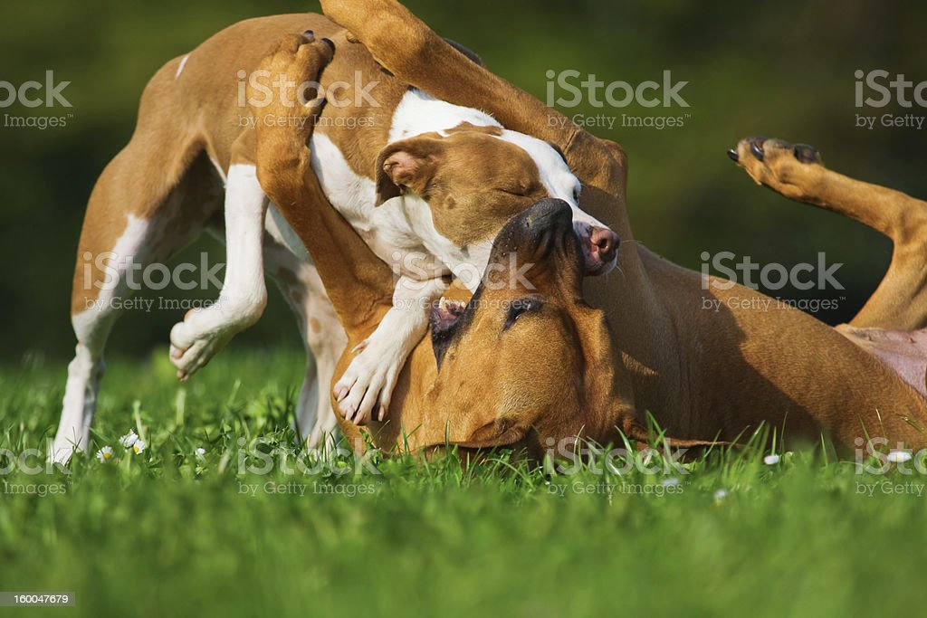 two fighting dogs royalty-free stock photo
