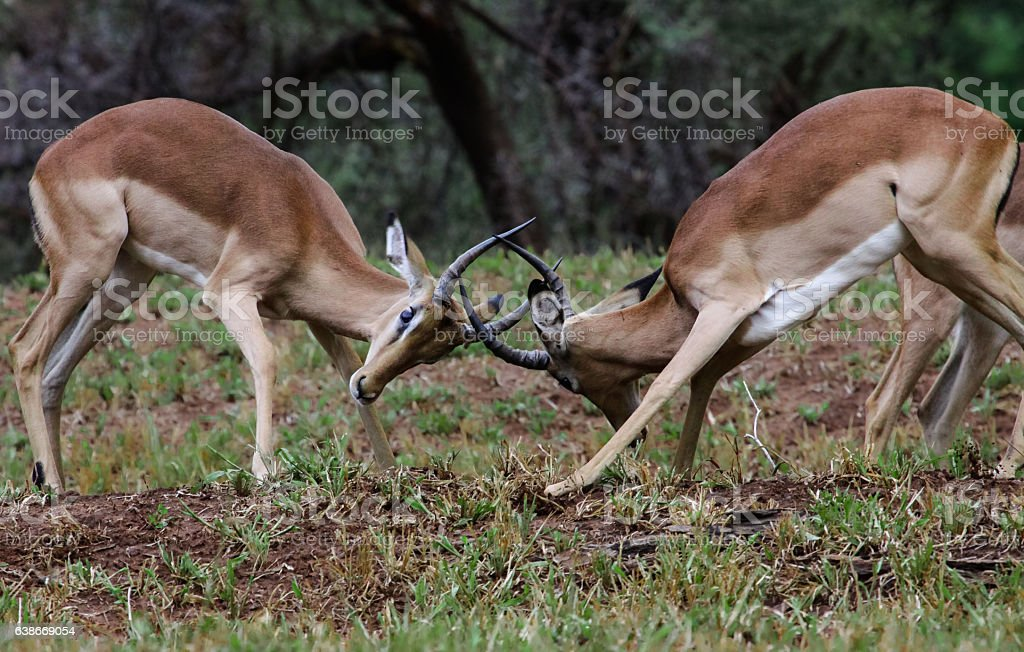 Two fighting Impala, facing each other stock photo
