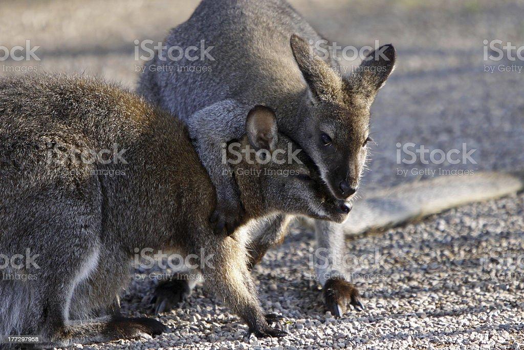Two fighting kangaroos stock photo