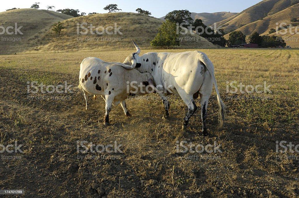 Two Fighting Texas Longhorn Bulls royalty-free stock photo