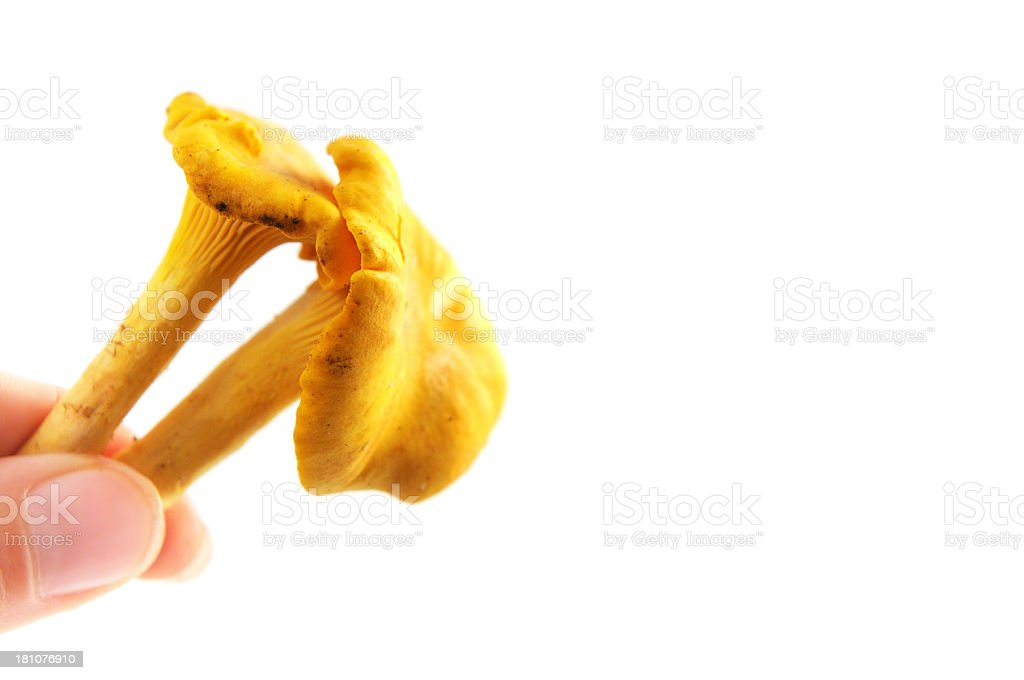 two fingers holding a golden chanterelle mushroom (Cantharellus cibarius) royalty-free stock photo