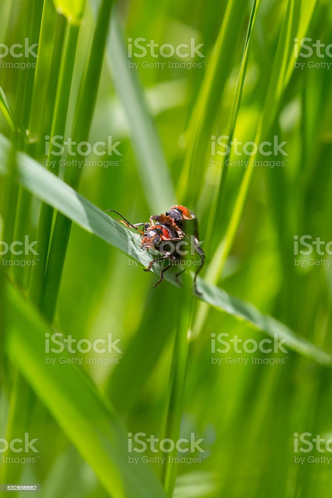 Two Firebugs on a blade of grass stock photo