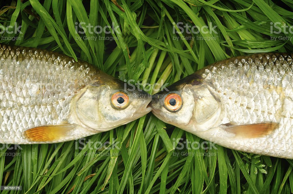 Two fishes on green grass stock photo