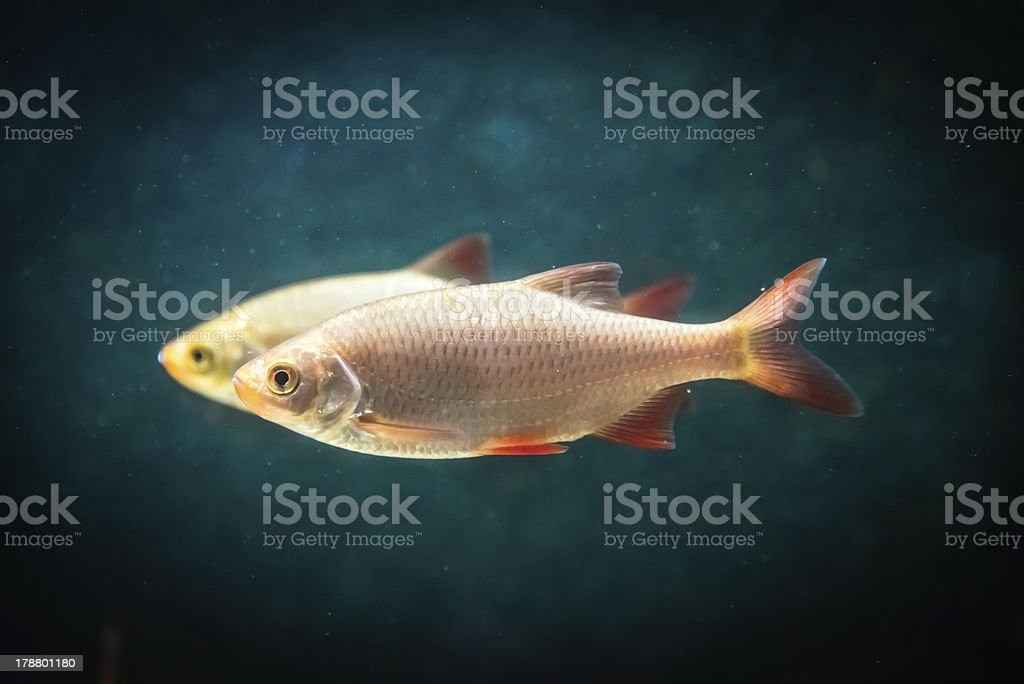 Two fishes royalty-free stock photo