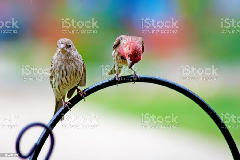 Two Fitch birds sitting on an iron trellis. stock photo