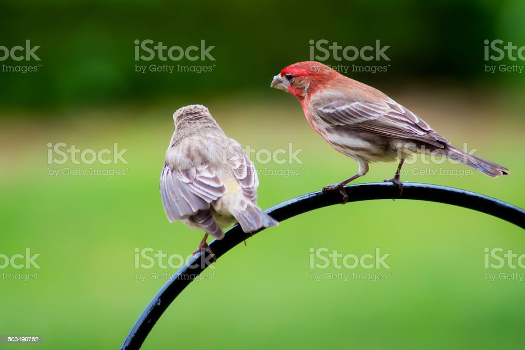Two Fitch Birds sitting on iron trellis with green background. stock photo