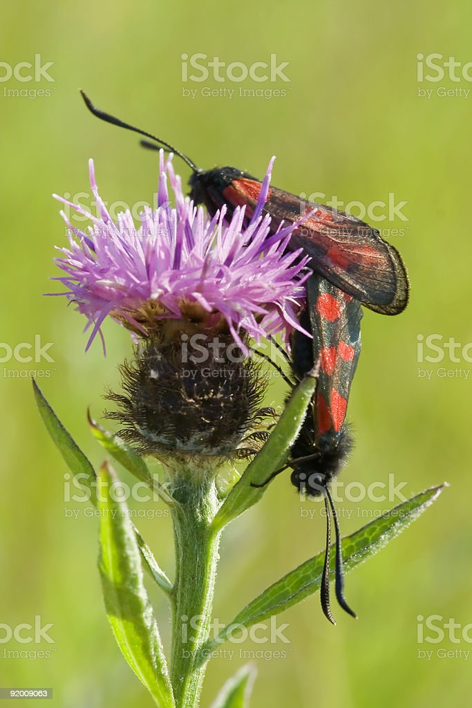 two five spotted burnet moths mating stock photo