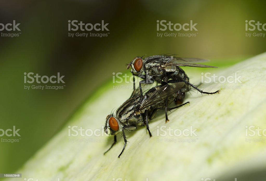 Two Flies Are Breeding royalty-free stock photo