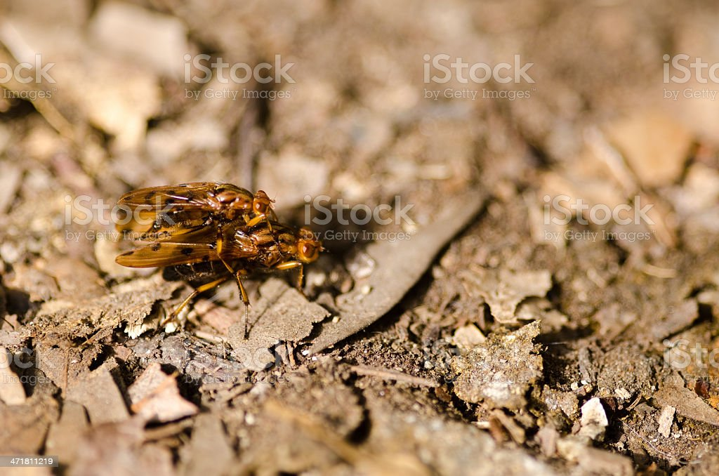 Two flies mating royalty-free stock photo