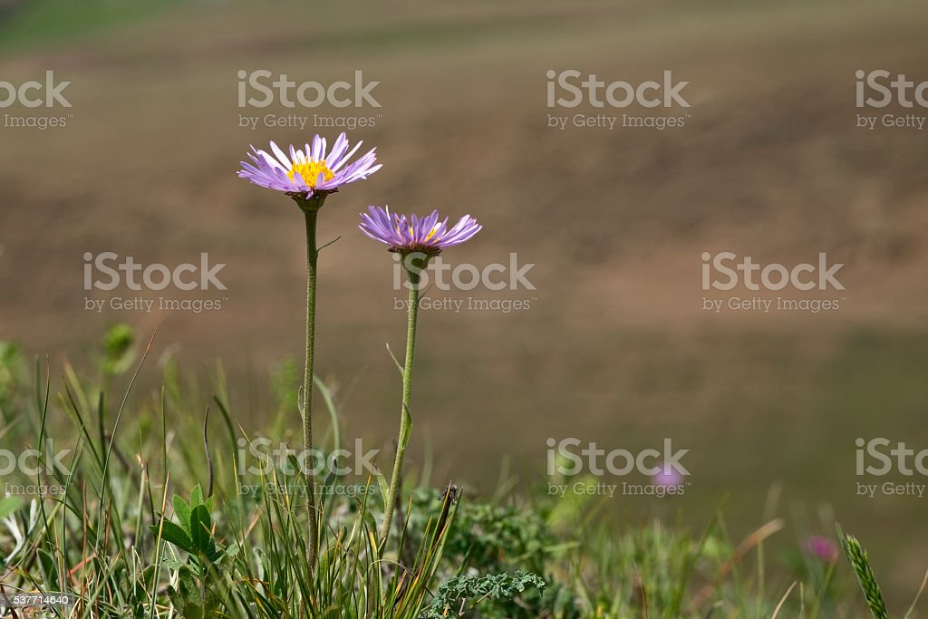 Two flowers Aster alpinus stock photo