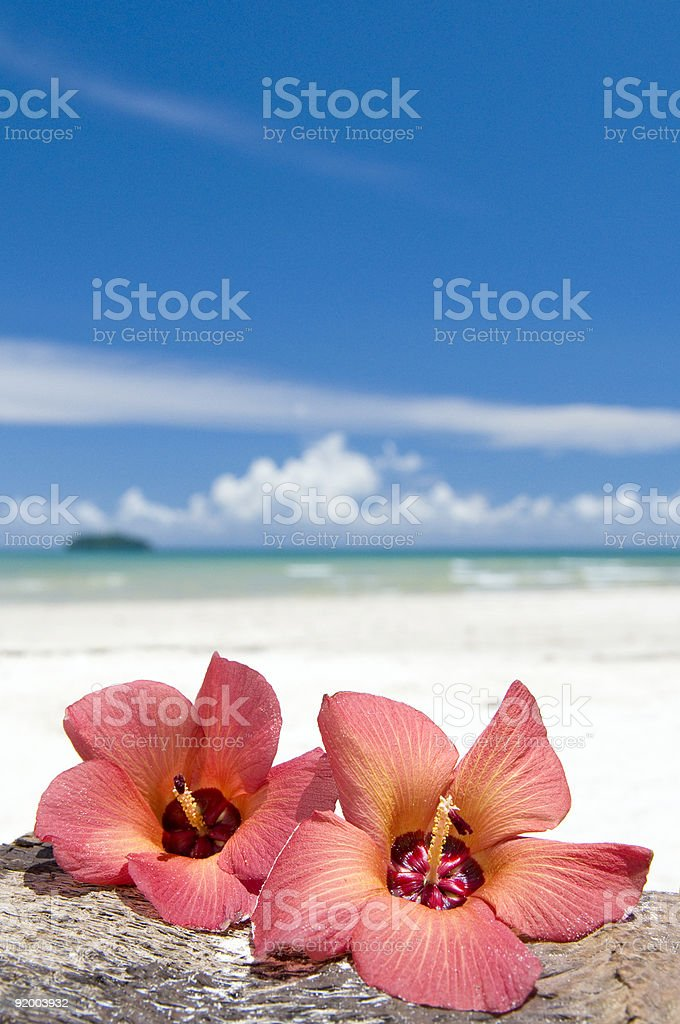 Two flowers hibiscus stock photo