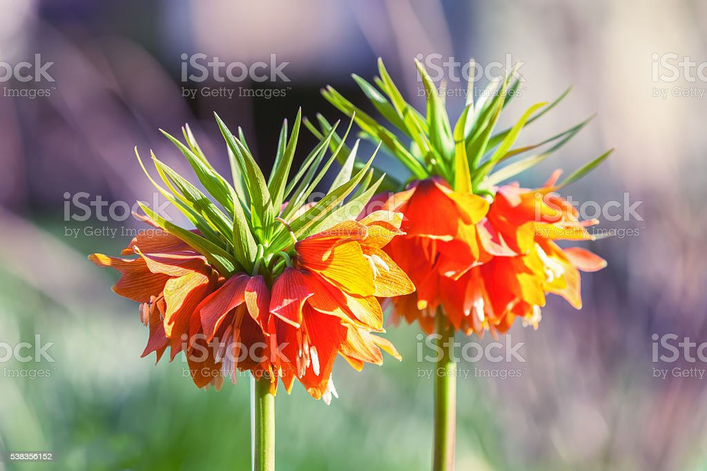 Two flowers imperial Fritillaria stock photo