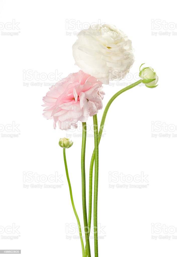 Two flowers isolated on white. stock photo