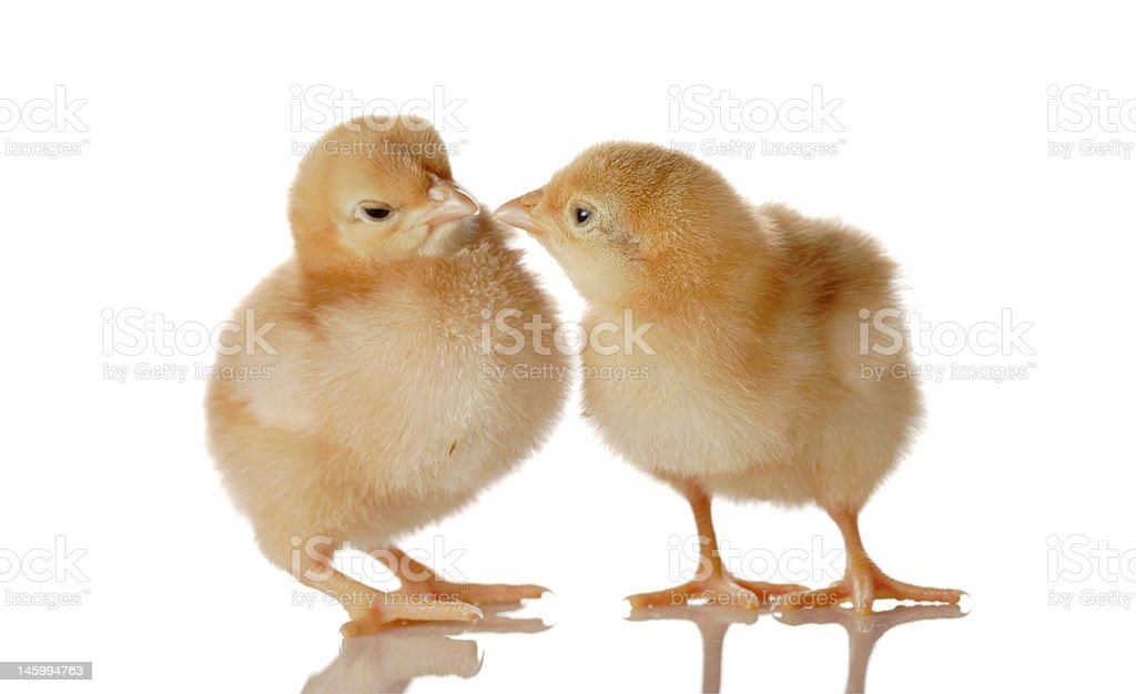 Two fluffy baby chicken royalty-free stock photo