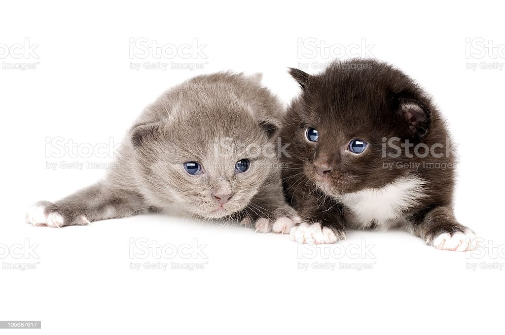 two fluffy little kitten royalty-free stock photo