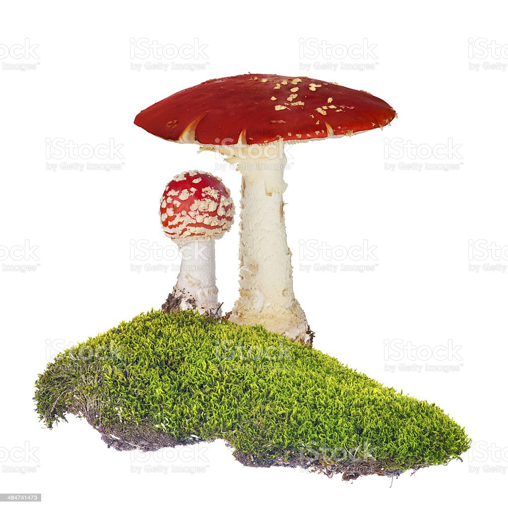 two fly agarics in green moss isolated on white stock photo