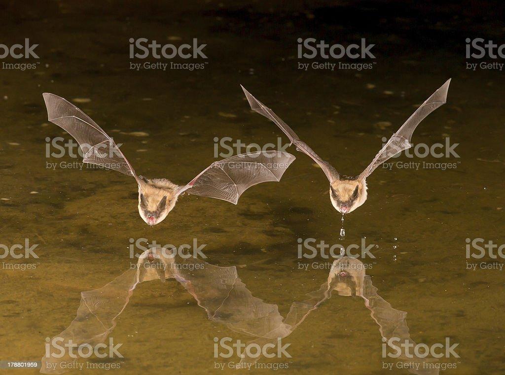 Two Flying bat at night using flash stock photo