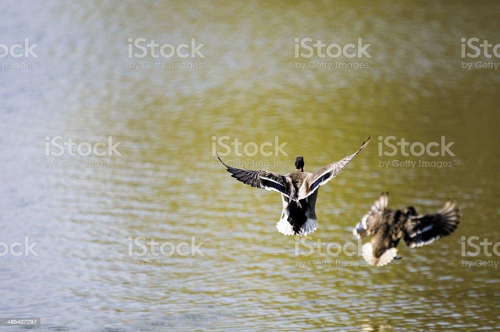 Two flying ducks stock photo