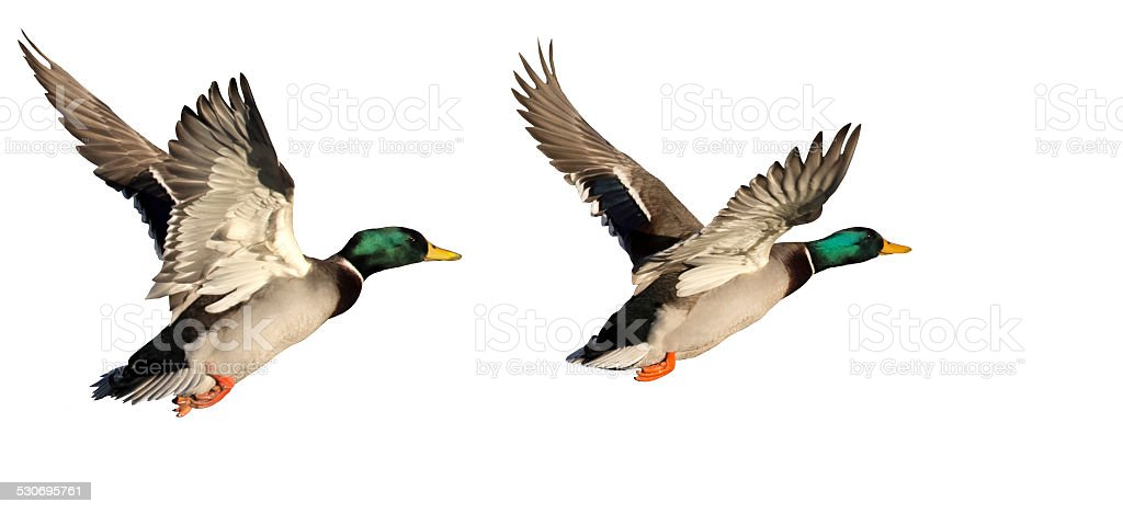 Two flying Ducks stock photo