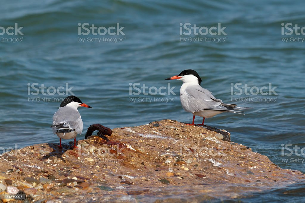Two Forsters Terns (Sterna forsteri) On a Rock stock photo