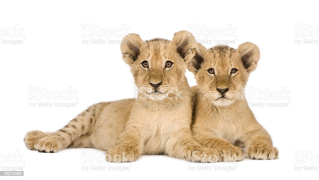 Two four month old lion cubs isolated on white background stock photo