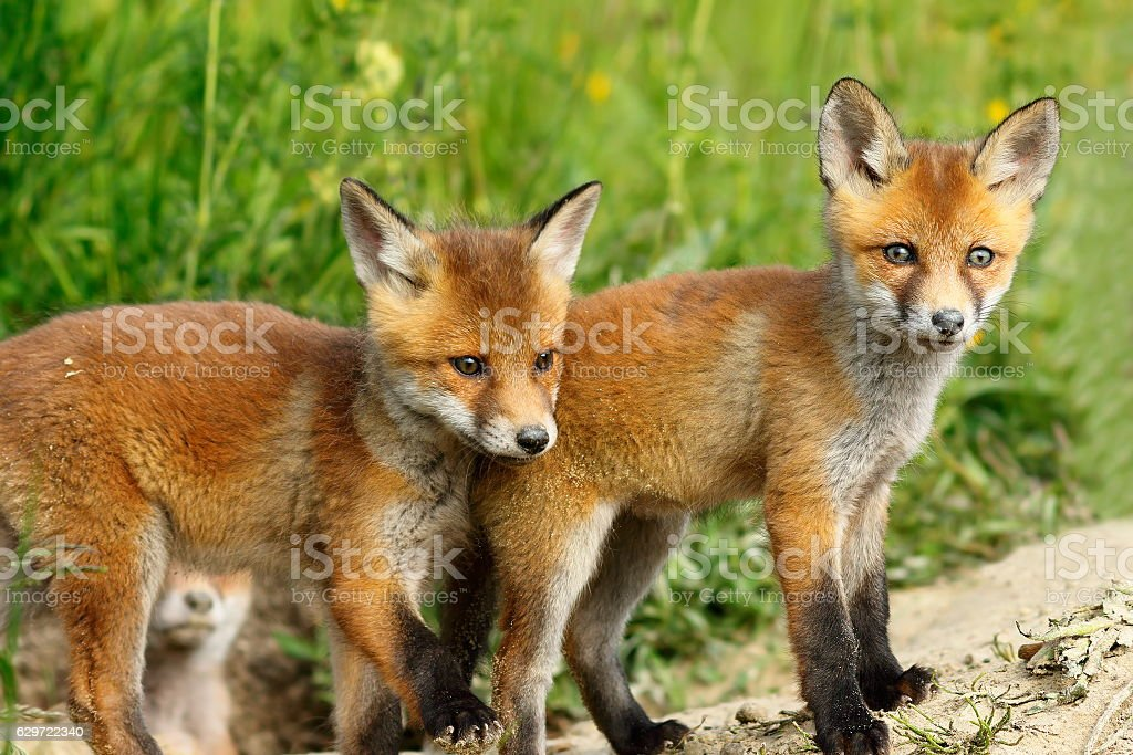 two fox cubs looking at the camera stock photo
