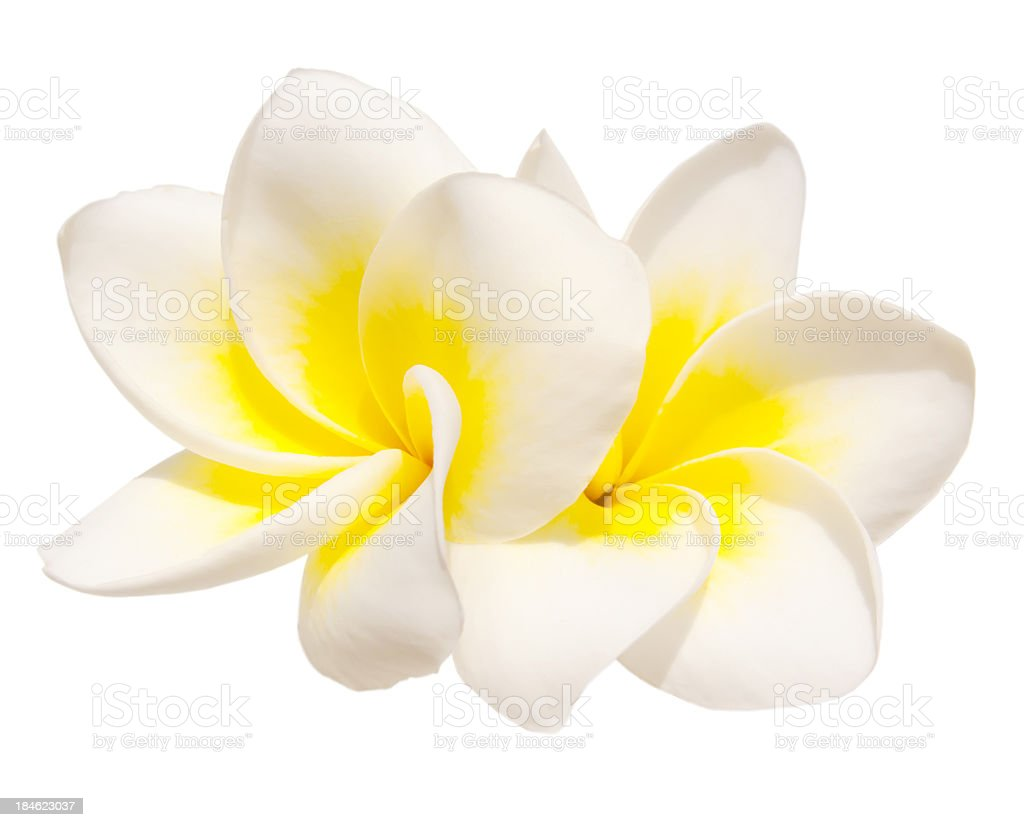 Two frangipani flowers stock photo