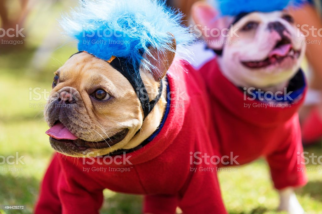 Two French Bulldogs Dressed Up for Halloween stock photo