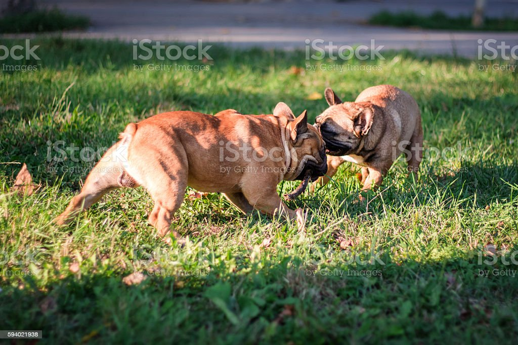 Two french bulldogs palying in park on green grass on stock photo
