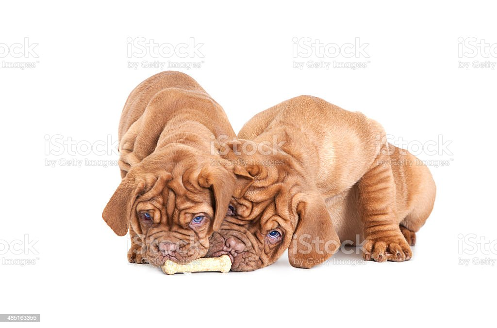 Two French Mastiff pups with a bone stock photo