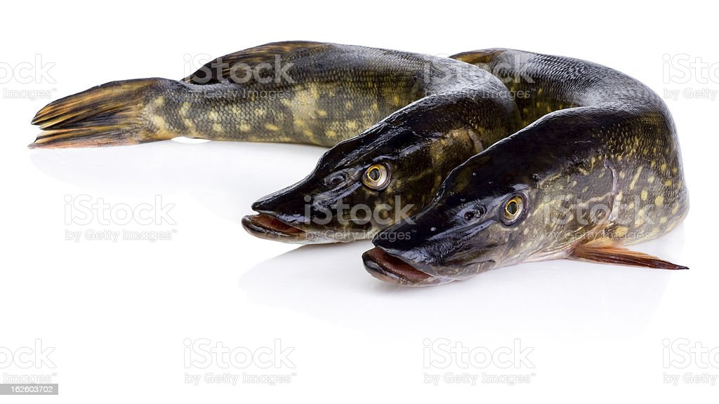 Two Fresh pike fish Isolated on white background royalty-free stock photo