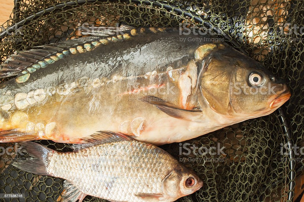 Two fresh raw river fishes on fishing net stock photo