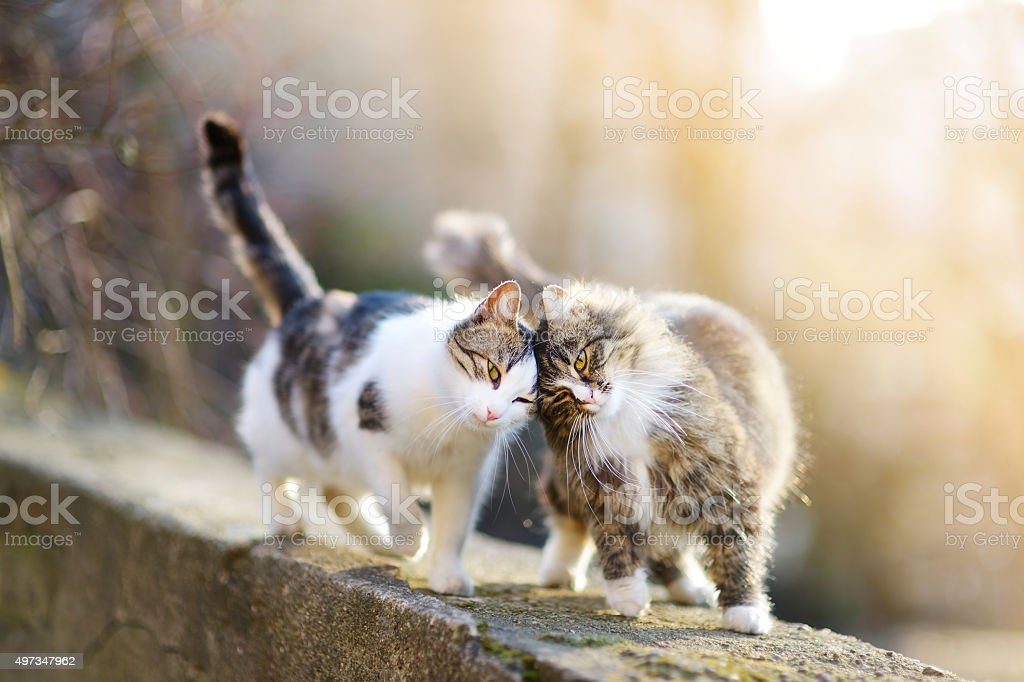 Two friendly cats stock photo