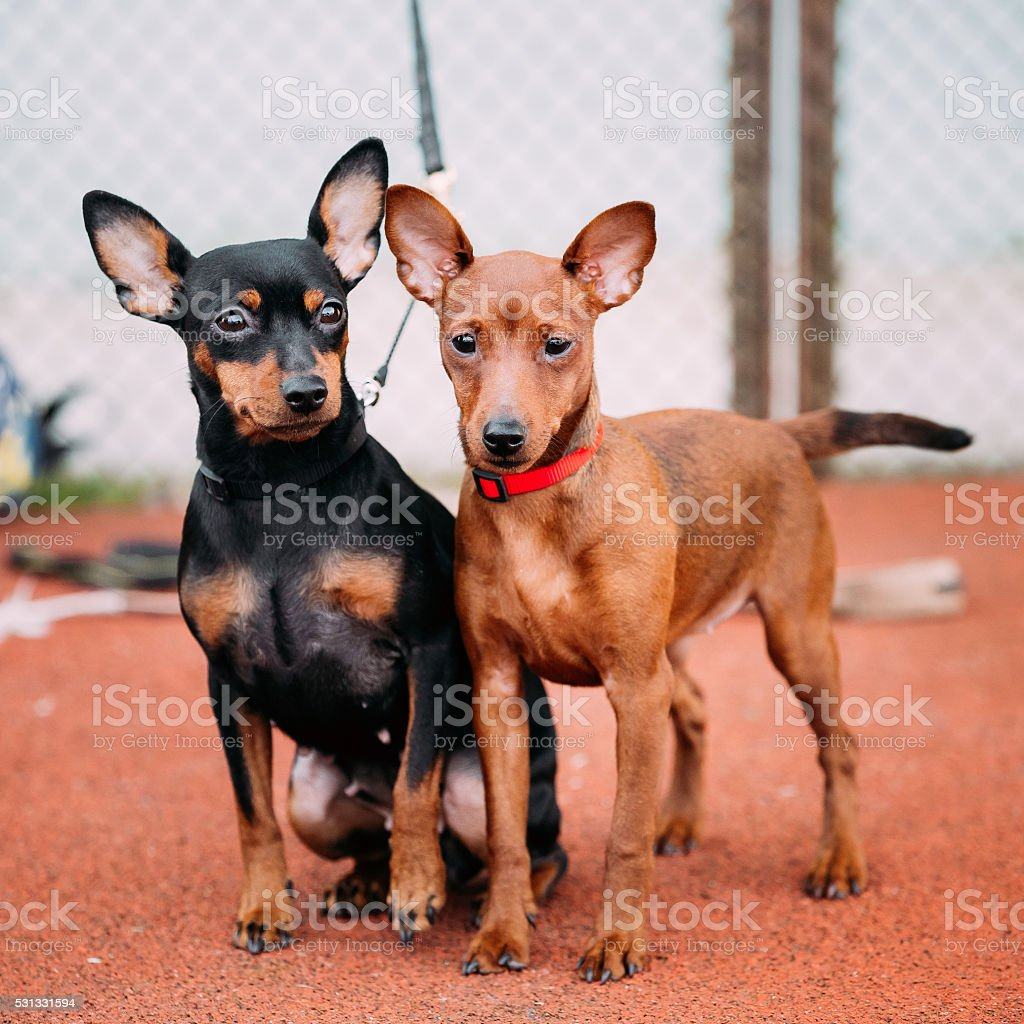 Two Friendly Miniature Pinschers Pinchers Staying Together stock photo