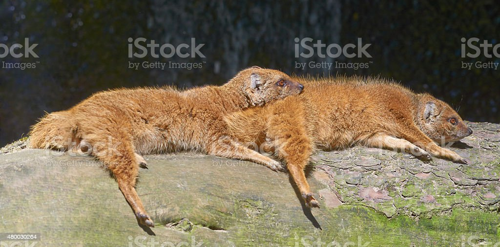 Two friendly mongooses are relaxing in the sun stock photo
