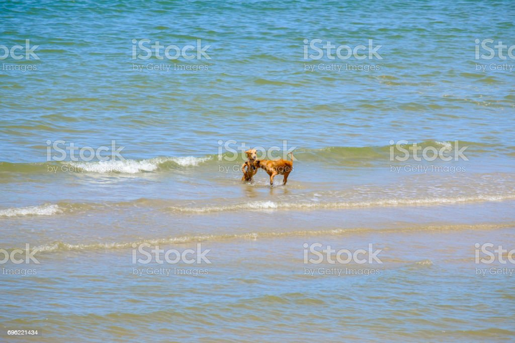 Two friends dogs are playing in the sea. stock photo