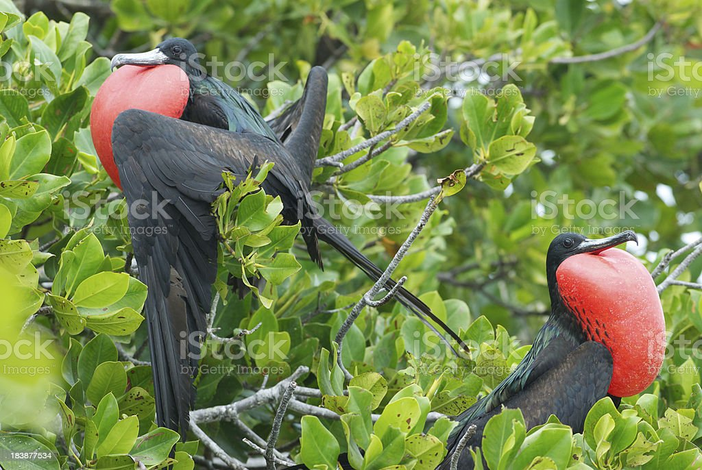 two frigate birds perched in mangrove tree stock photo