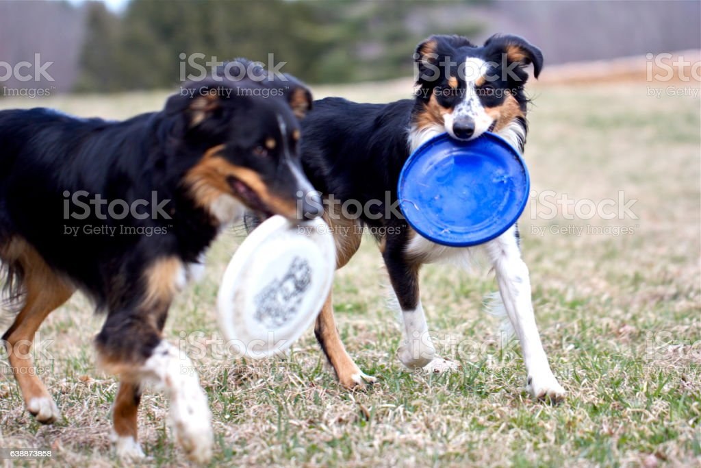 Two Frisbee Dogs stock photo