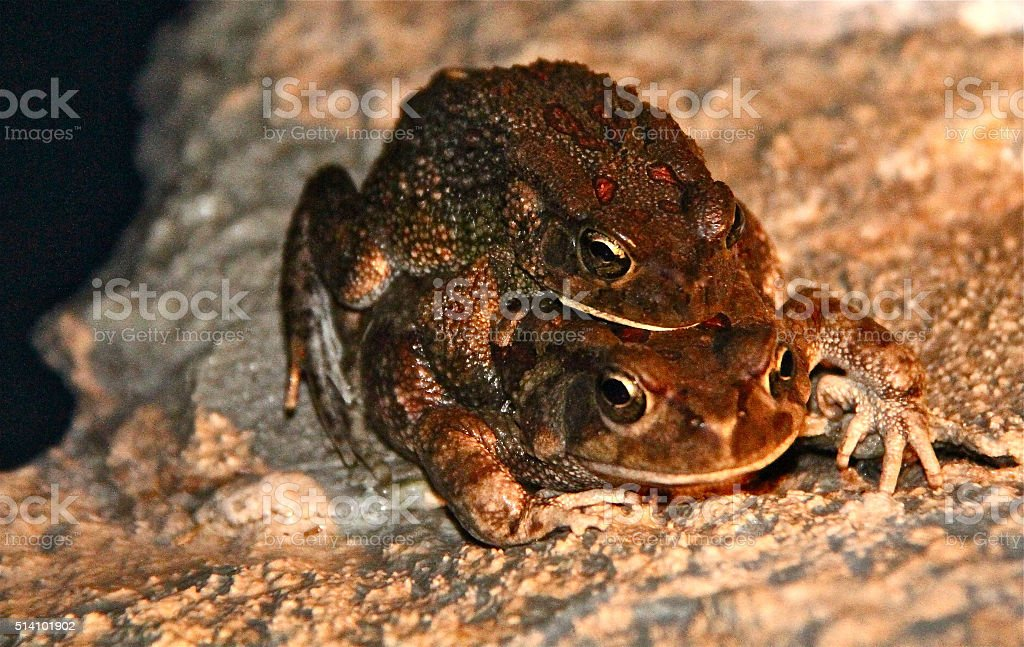 Two frogs piggybacking stock photo