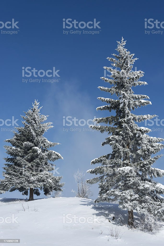Two Frosty Spruce Trees in Winter Slovenia stock photo