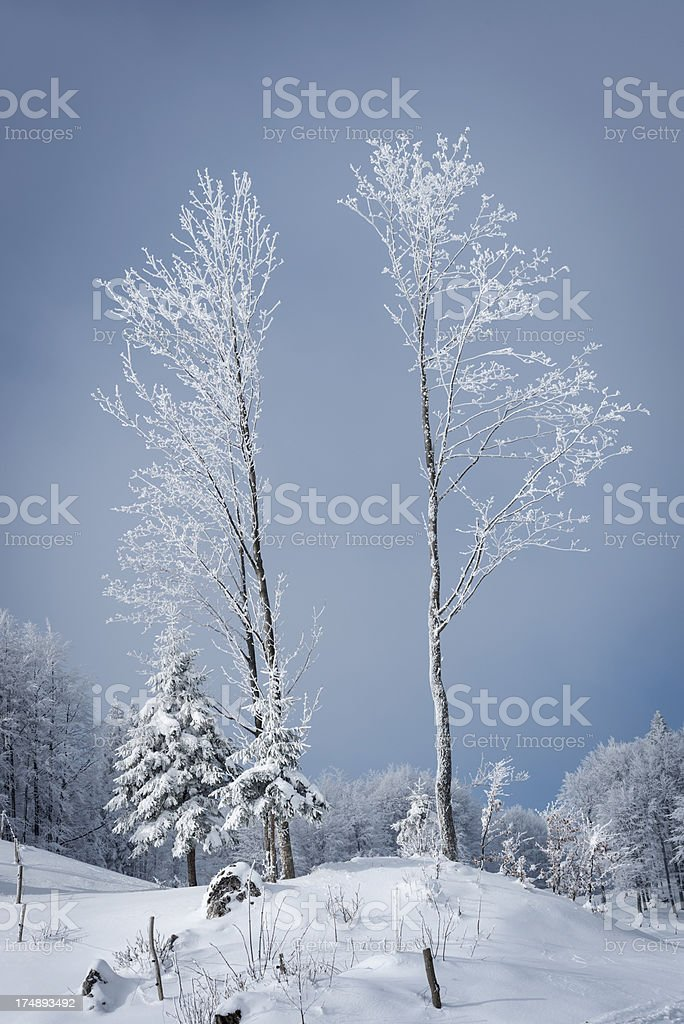 Two Frosty Twin Trees Winter in Slovenia stock photo
