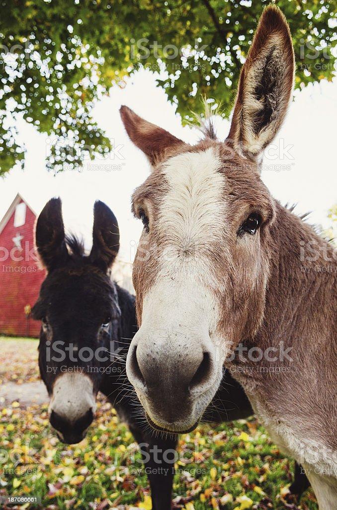 Two funny Donkeys royalty-free stock photo