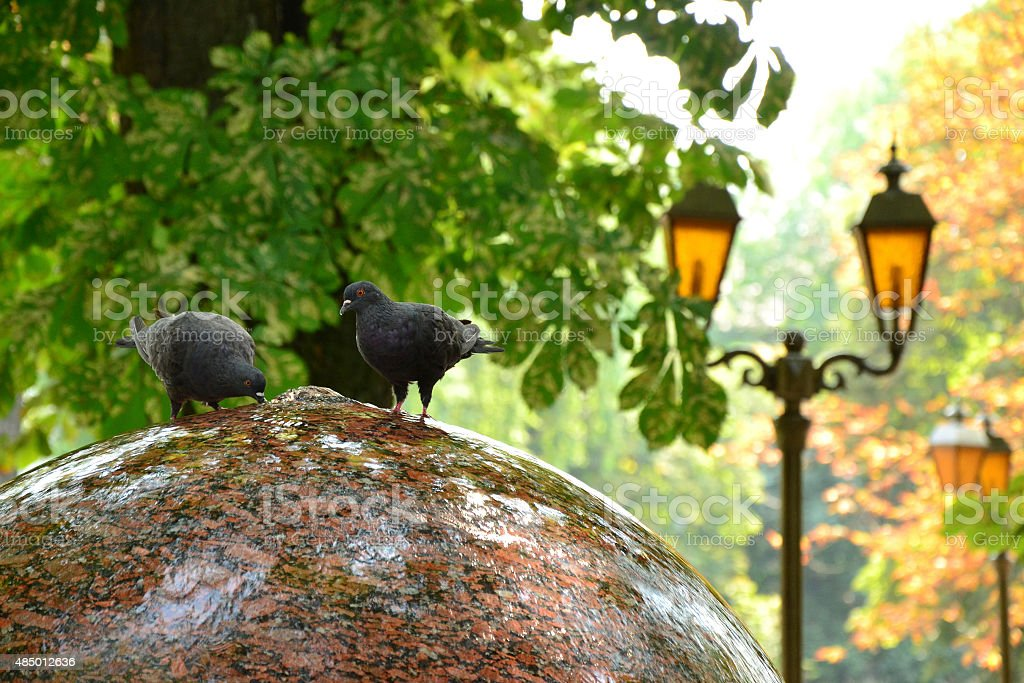 Two funny doves drink water from round fountain stock photo