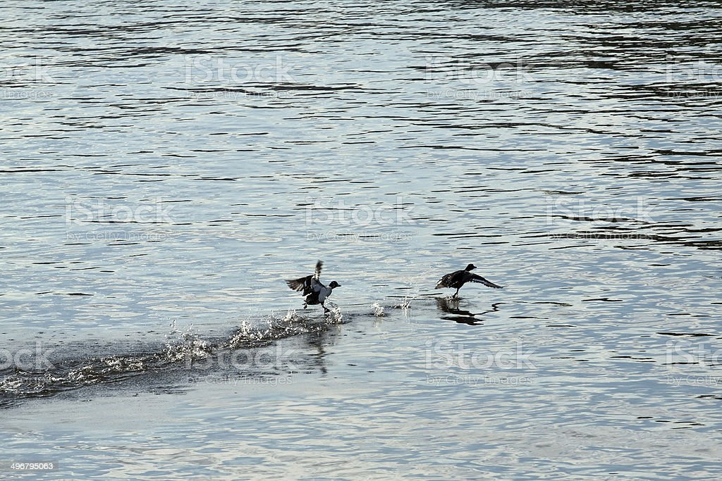 Two funny ducks royalty-free stock photo