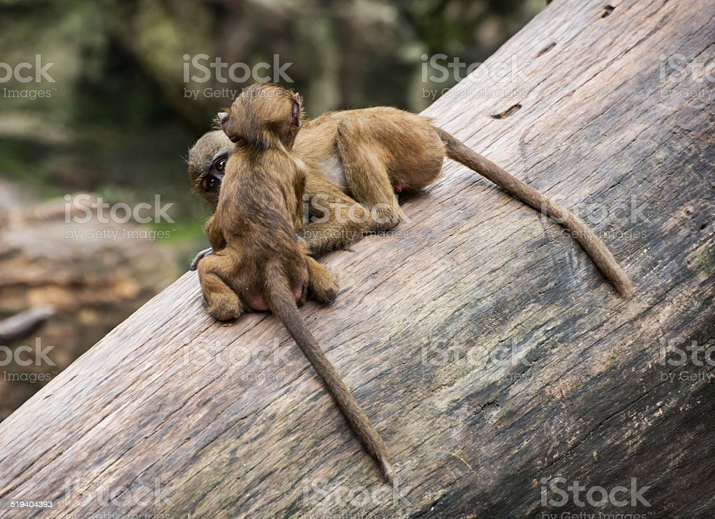Two funny little cubs of Guinea baboon are playing stock photo